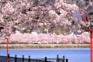 門脇俊照さん撮影の上野公園の桜